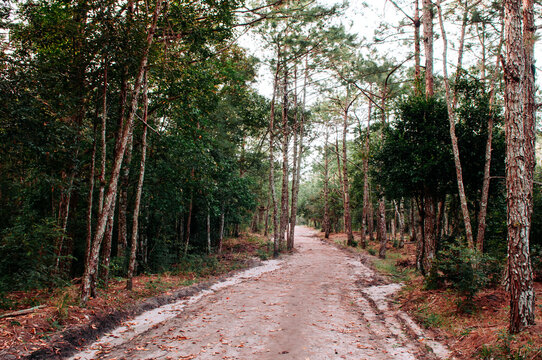 Pine tree forest and nature trail road at Phu Kradueng, Loei - Thailand