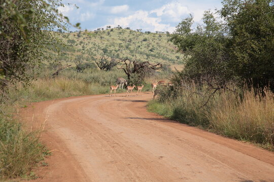 View of a zebra and group of female impalas walking along the road during Spring in  Pilanesberg National Park, South Africa
