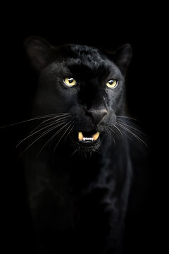 Portrait of black Leopard