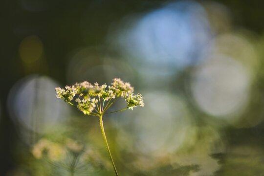 Blütendolde von der Schafgarbe, weicher Hintergrund mit Bokeh