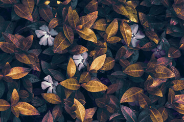 Beautiful spring wild meadow periwinkle leaves and flowers texture, golden and purple colors in sun light, macro. Soft focus nature background. Floral springtime. Flat lay, top view