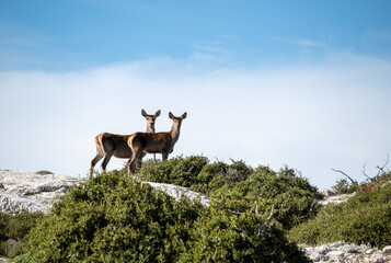Red deer in the mountain with blue sky a the background.