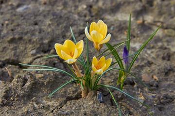 yellow crocus flowers,the first spring crocus flowers bloom in the garden