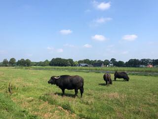 Water buffalos around Hardenberg