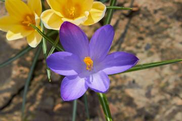 Field of purple crocus flowers,growing flowers in the spring garden of crocuses
