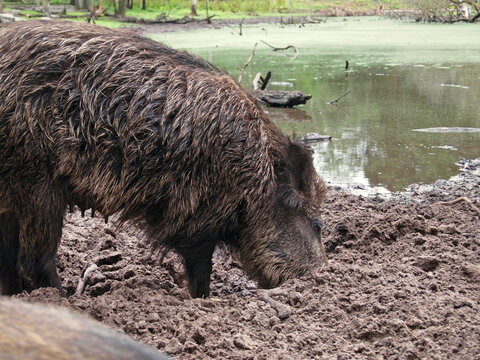 female wild boar (Sus scrofa) digging in loose soil, Wildgehege (Game Preserve) Klövensteen, Hamburg, Germany