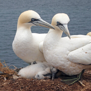 northern gannet (Morus bassanus), couple with young at Heligoland, Germany