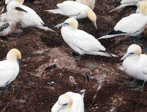 northern gannet (Morus bassanus), parent with dead young at Heligoland, Germany