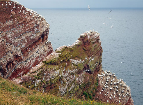 nesting cliffs at Heligoland, Germany, with northern gannets (Morus bassanus), common murre or common guillemot (Uria aalge) and black-legged kittiwake (Rissa tridactyla)