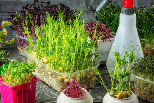 Growing microgreens at home. A vegetable garden with fresh herbs in my kitchen.