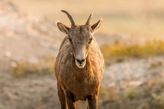 Female bighorn sheep facing forward on the prairie in South Dakota