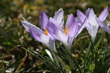 Closeup shot of beautiful crocus flowers in the garden