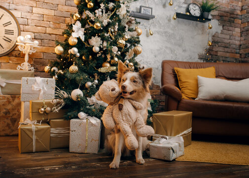 dog in the Christmas interior. Border Collie in New Year's decorations at home
