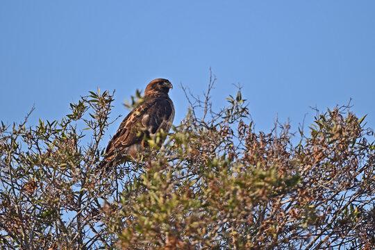 Cooper's Hawk resting on a Tree Top