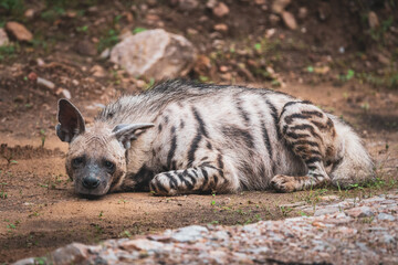 Striped hyena have excellent senses of vision, hearing and smell spotted this at evening safari near pond at ranthambore national park or tiger reserve rajasthan india - hyaena hyaena