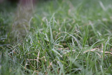 green grass in the morning