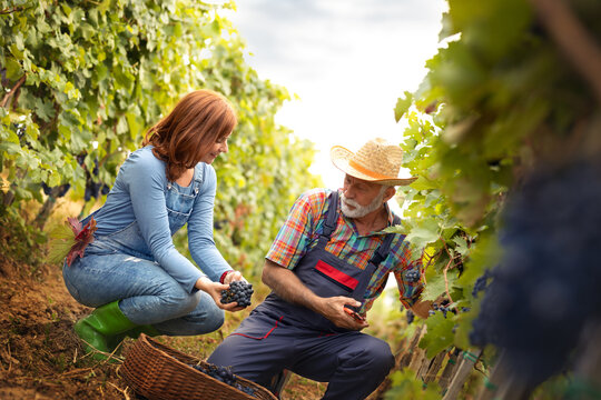 Senior man in work suit and straw hat working with young woman in vineyard