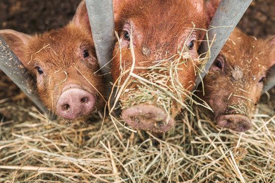 Domestic pigs in a farm