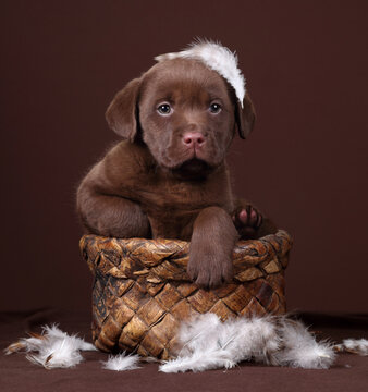 Cute little labrador puppy sitting in a basket with feathers