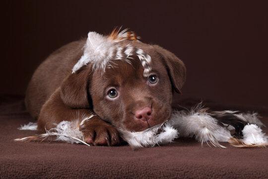 Cute little labrador puppy with feathers