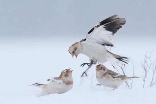 Snow bunting. Bird on snow in winter. Plectrophenax nivalis
