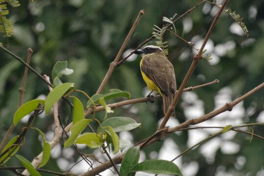 Great kiskadee (Pitangus sulphuratus) in Cuyabeno Wildlife Reserve, Amazonia, Ecuador