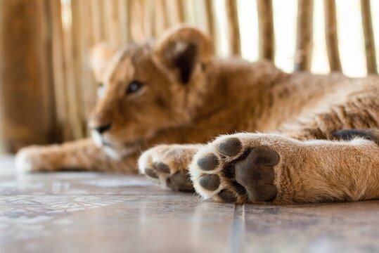 sleeping lion cub