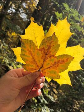Bunte Herbstblätter im Gegenlicht in einer Hand