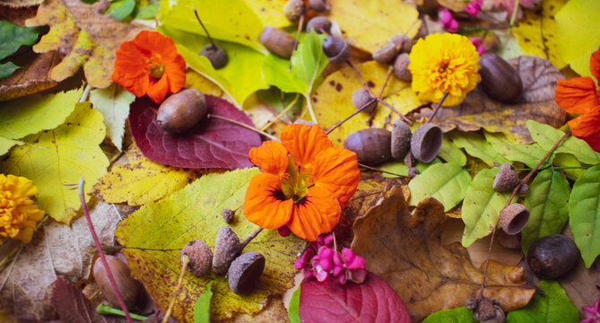 Acorns and Nasturtium on colorful autumn leaves composition