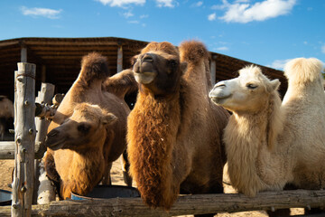 three camels on the farm with two humps