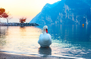 swans and ducks on lake Garda against of a picturesque sunset and mountains