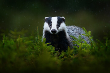 Badger in the green forest. Cute Mammal in environment, rainy day, Germany, Europe. Wild Badger, Meles meles, animal in the wood.