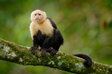 Costa Rica wild monkey. White-headed Capuchin, black monkey sitting and shake one's fist on tree branch in the dark tropical forest. Wildlife of Costa Rica. Travel holiday in Central America.