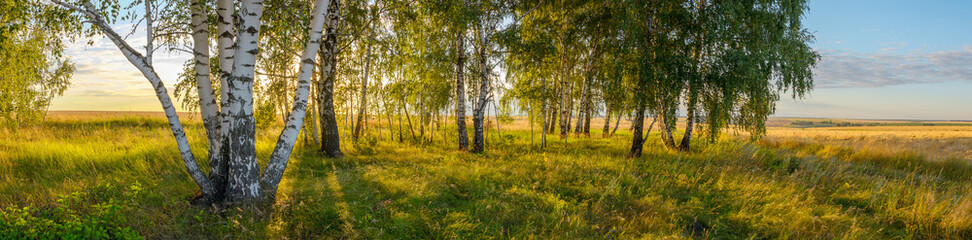 Sunny summer scene with birch trees during sunset