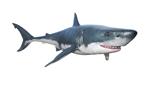 Big white shark predator animal, front left view, photorealistic 3D Illustration of fish, isolated on the white background.