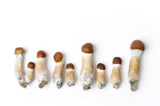 psychedelic magic mushrooms