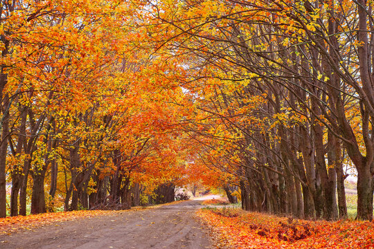 Fall season. Rows of trees lining long empty path. Park alley in Belarus