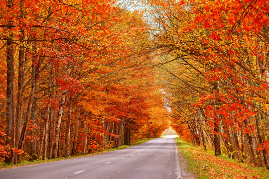 Asphalt road in autumn lane with alder trees tunnel. Beautiful nature landscape. Fall season