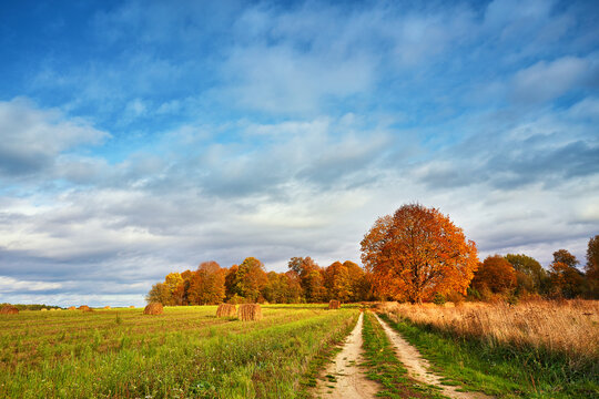 Autumn Field, Maple Tree, Country Road. Fall rural landscape. Lonely beautiful pastures autumn tree