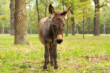 Donkey outdoors in nature. Portrait of a donkey