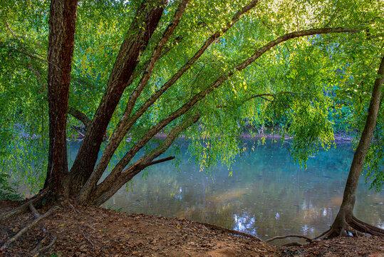 River birch (Betula nigra) arching over the Rivanna River in Riverview Park, Charlottesville, Virginia