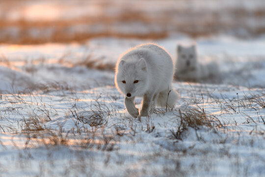 Two arctic foxes (Vulpes Lagopus) in Arctic tundra. Snow Foxes.
