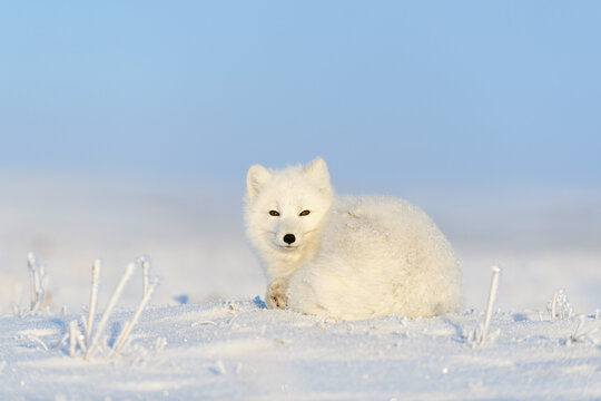 White arctic fox (Vulpes Lagopus) curled up on snow in Arctic tundra. Snow Fox.