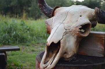 Old bison skull with horn on the nature background. Design concept. Space for text.
