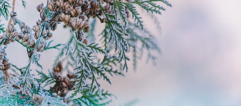 Winter panorama winter plants with snow and frost on a light background for decorative design