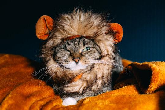 The lion kitten.