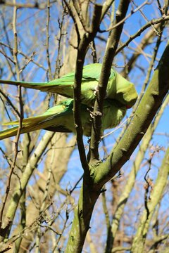 Couple of Psittacula krameri sitting in the tree in Hyde Park in London, United Kingdom