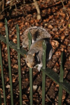 Gray squirrel in Hyde Park London, United Kingdom