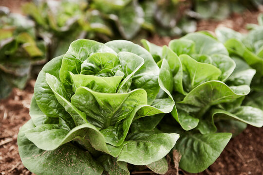 Closeup of lettuce