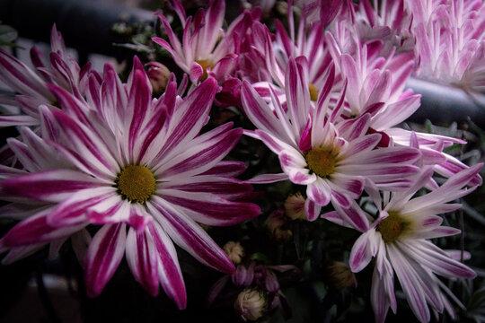 Blumen weiß violett als Hintergrund